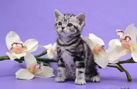 Американские короткошерстные котята. Профразведение